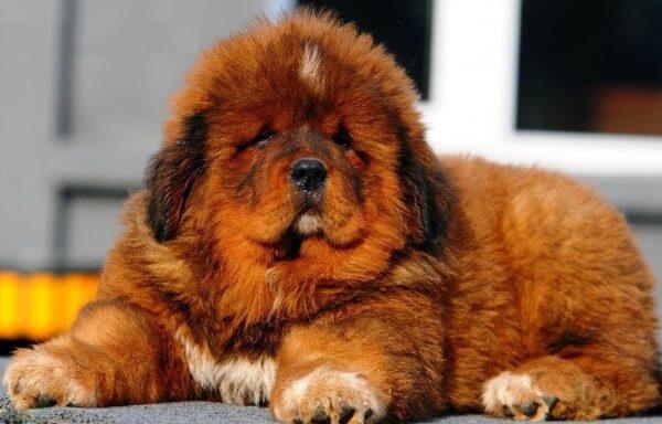 Самая сильная собака в мире - ТОП-10 пород сильнейших собак