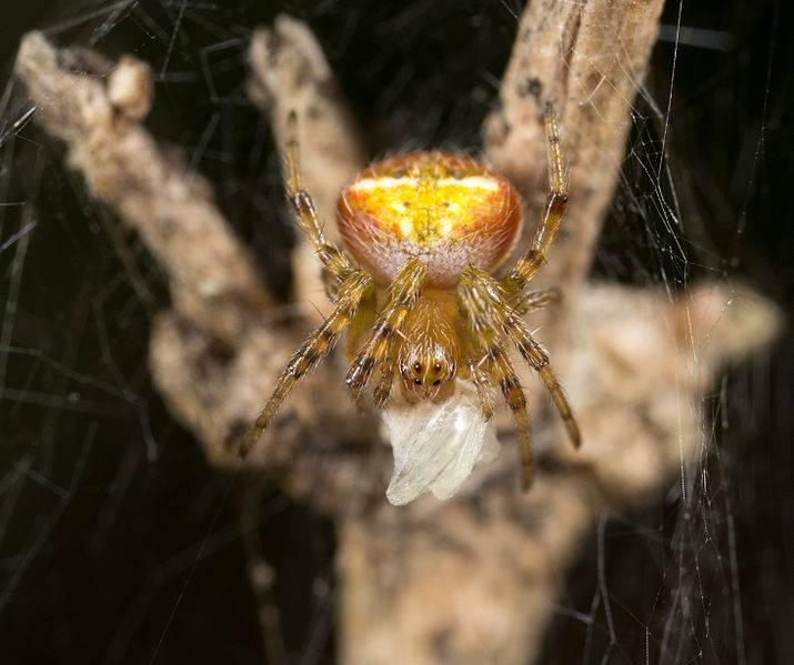krestovik-araneus-albotriangulus-foto.jpg