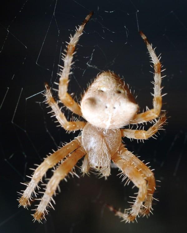 pauk-krestovik-araneus-gemmoides-kotomordyj-pauk-foto.jpg
